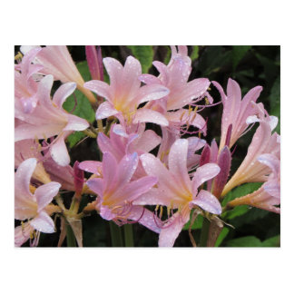 Surprise Lilies After the Rain Postcard