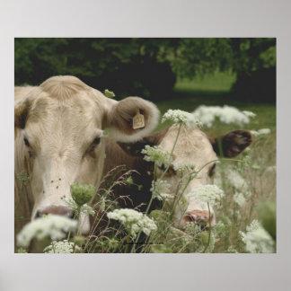 Suspicious Cows Poster
