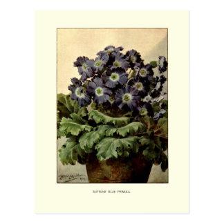 Suttons' blue primula postcard