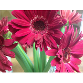 A Pink Daisies