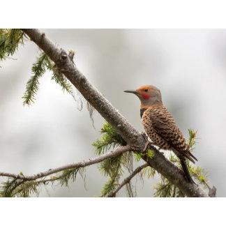 USA, Washington State. Male Northern Flicker