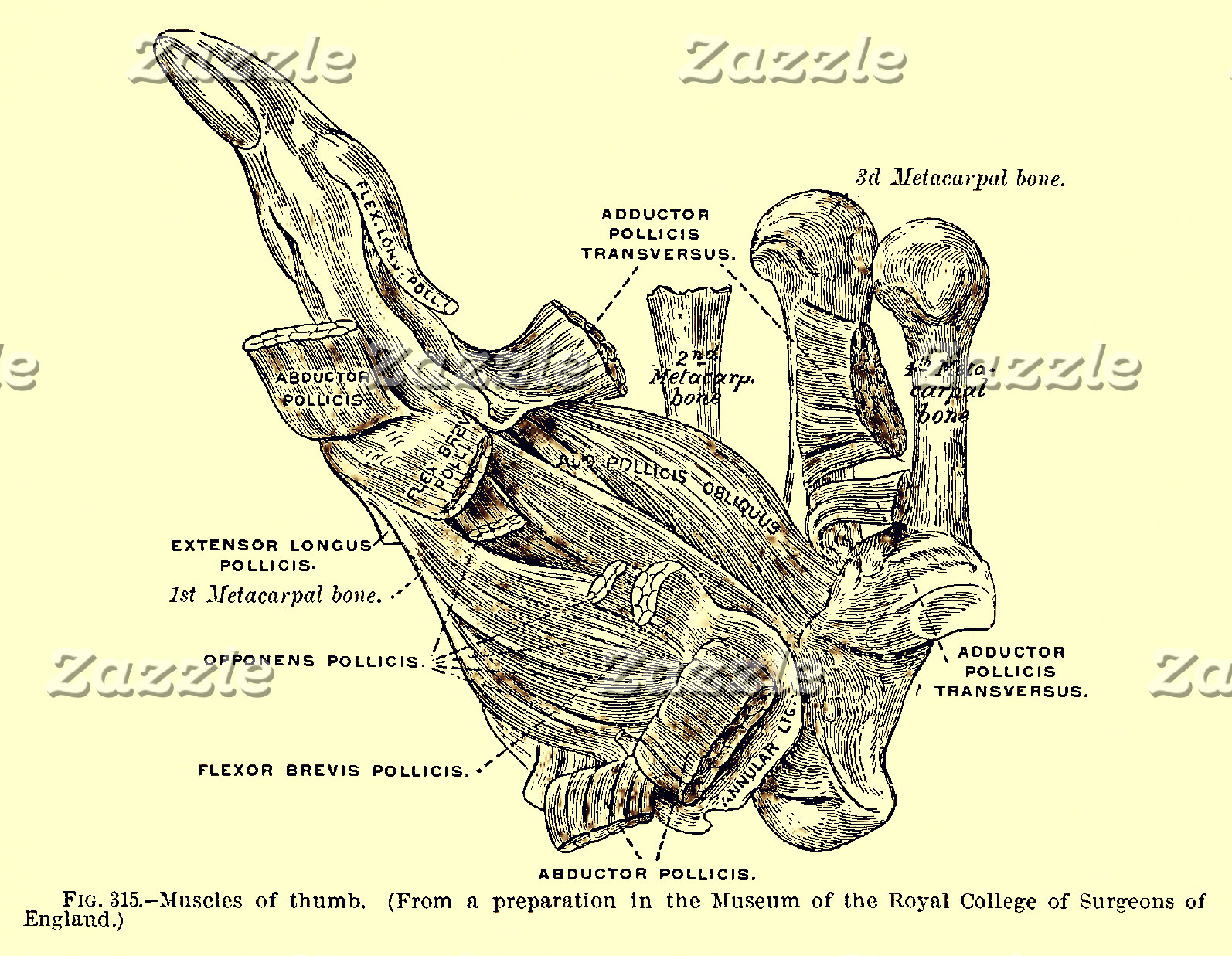 Vintage Anatomy | Thumb Muscles