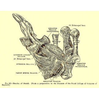 Vintage Anatomy | Thumb Muscles