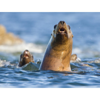 Agressive Stellar Sea Lions Eumetopias