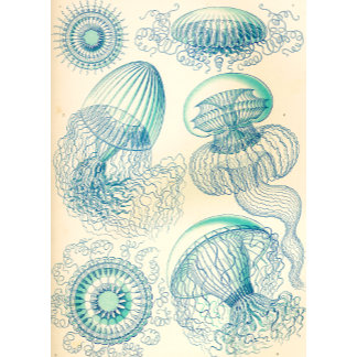 Ernst Haeckel Leptomedusa Thecate Hydroids
