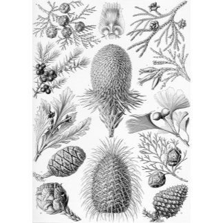 Ernst Haeckel Coniferae