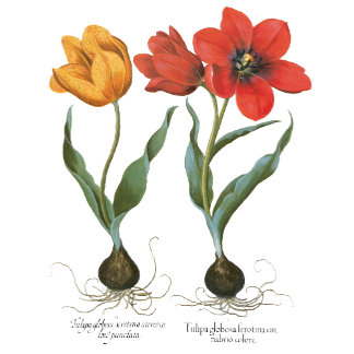 Botanical Art by Basilius Besler