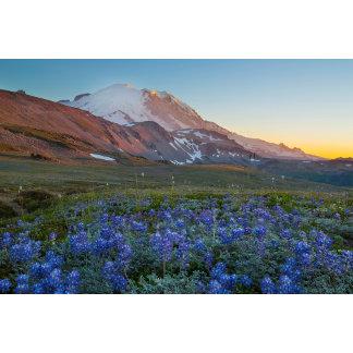 USA, Washington State. Alpine Lupine