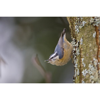 USA, Washington State, Red-brested Nuthatch,