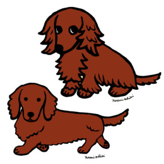 Red Long Haired Dachshund