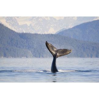 USA, Alaska, Icy Strait. Humpback Whale calf