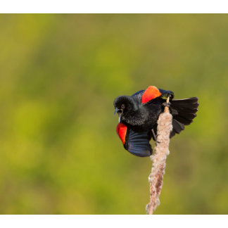 A Male Red-Winged Bird