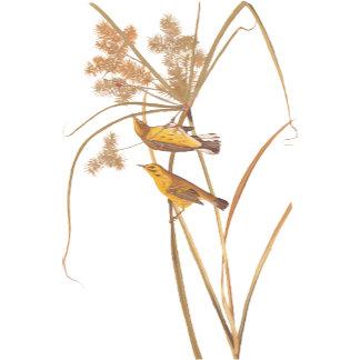 Prairie Warbler (Plate 14)