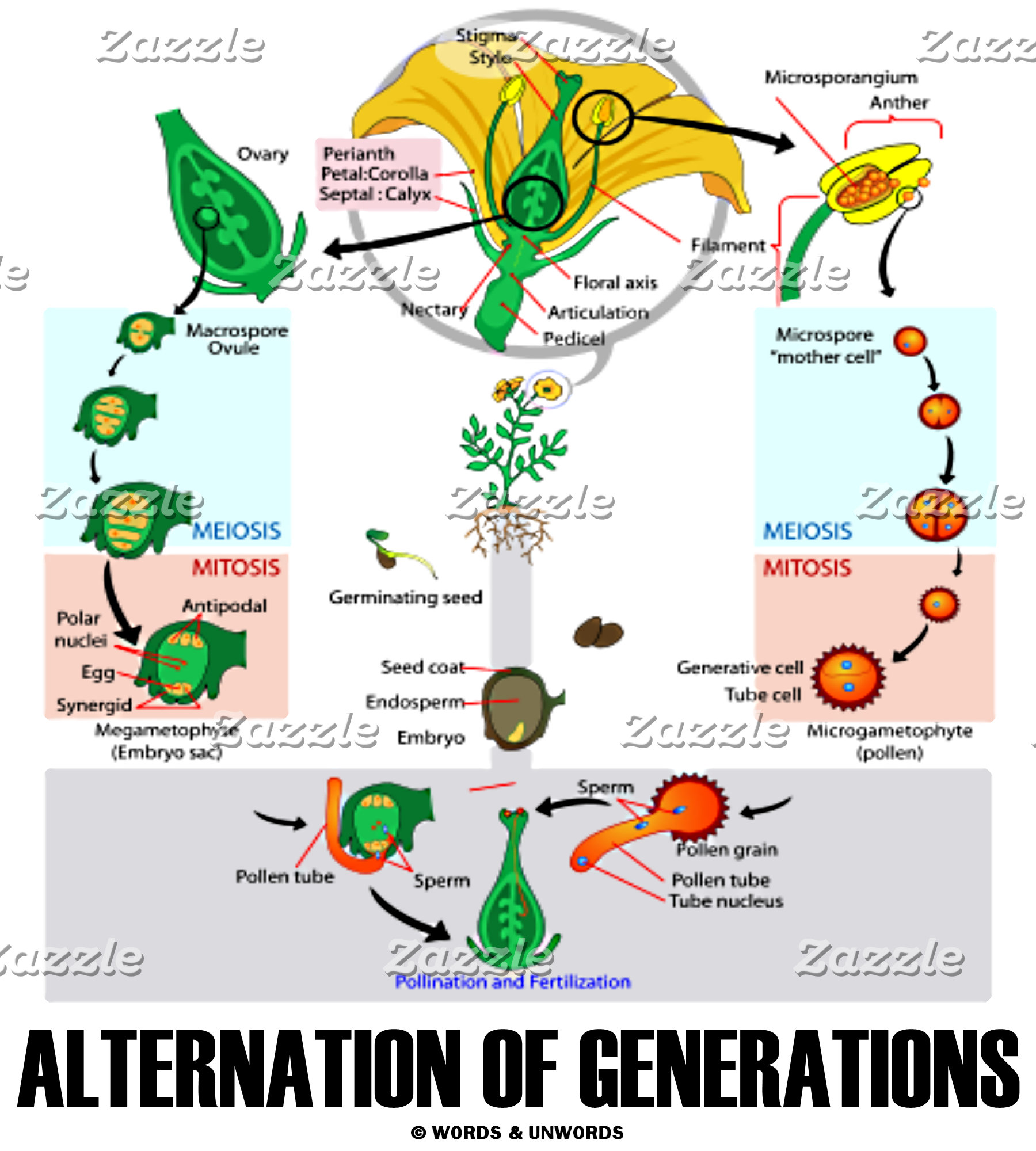 Alternation Of Generations (Life Cycle)