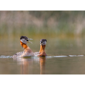USA, Washington State. Mated Red-Necked Grebes
