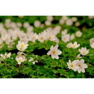 Carpet of wood anemones