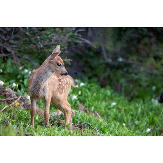 USA, Washington State. Blacktail Deer Fawn