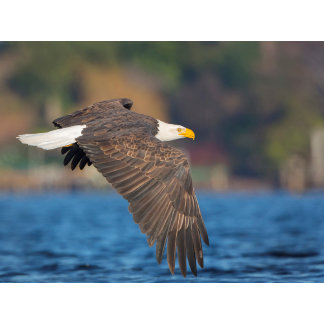 An adult Bald Eagle flies low over water