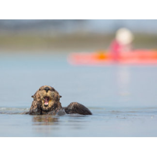 Male adult sea otter in Elkhorn Slough, California