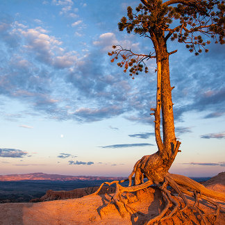 Tree Clings to Ledge, Bryce Canyon National Park