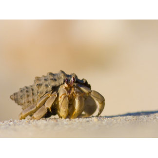 Hermit Crab on white sand beach of Isla Carmen,