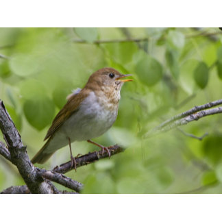 USA, Ellensburg, Washington. Male Veery singing