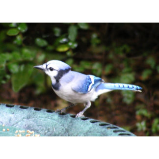 Blue Jay on Bowl