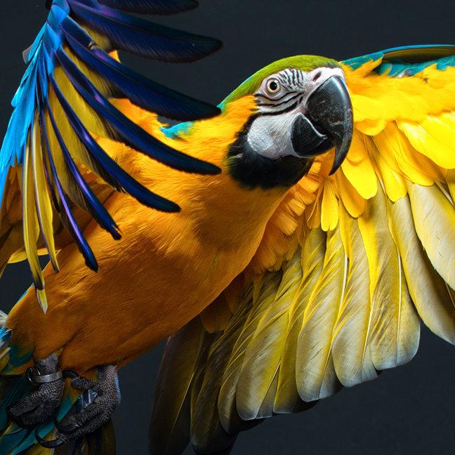Colourful flying Ara on a dark background