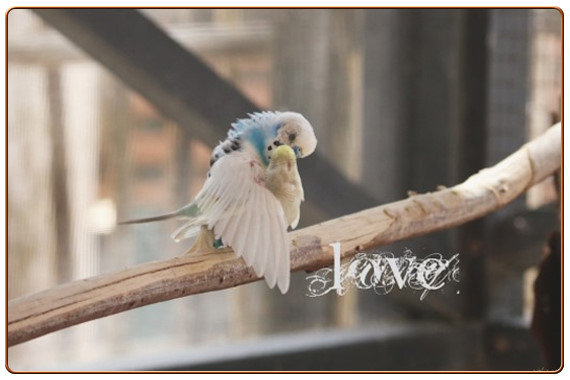 Kissing Love Birds Parakeets Photo