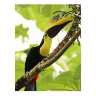 Swainson Toucan Postcard