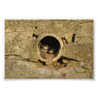 Swallow Babies In Pipe Photograph