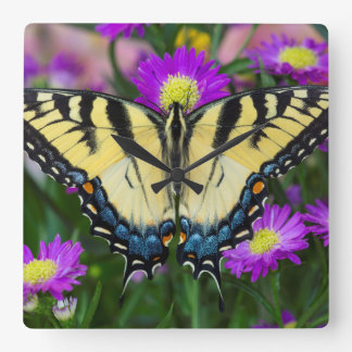 Swallowtail Butterfly on daisy Square Wall Clock