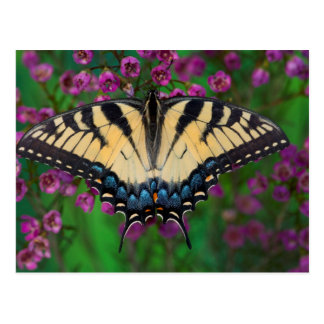 Swallowtail Butterfly on purple Postcard