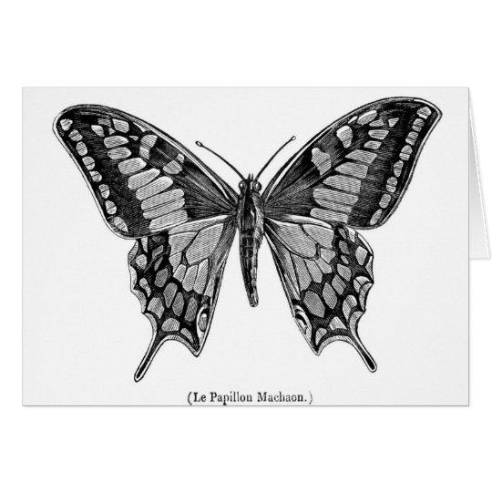 Swallowtail butterfly, scientific illustration. card
