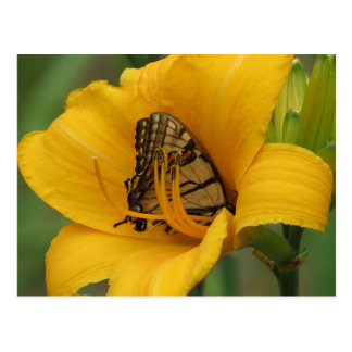 Swallowtail Lily - Butterfly Postcard