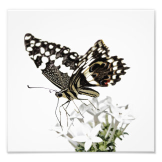 Swallowtail perched in white photo print