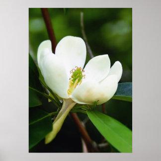 Swamp Magnolia Poster