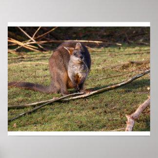 Swamp wallaby (Wallabia bicolor) poster