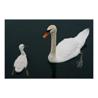 Swan and Chick Poster