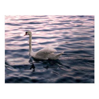 Swan at Dusk Postcard