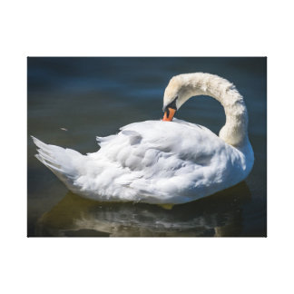 Swan cleaning feathers canvas print
