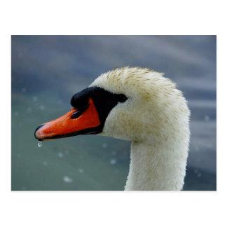 Swan Closeup Postcard
