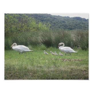 Swan Family in Ireland Poster