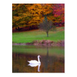 Swan in autumn post card