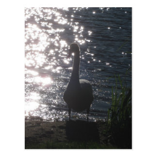 Swan in the evening light Postcard