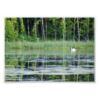 Swan on Reflective Lake 7x5 Photographic Print