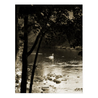 Swan on the River - vertical Postcard