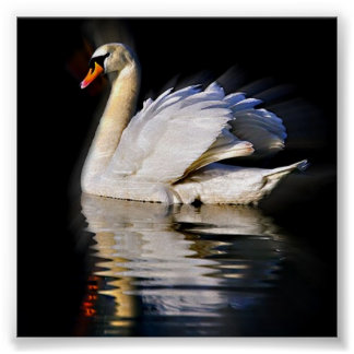 Swan Reflection Poster