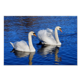 Swans in the blue lake water Photo Wildlife Poster