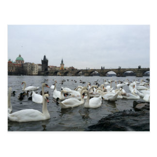 Swans on the banks of the Charles Bridge Postcard
